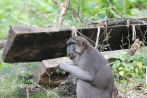 A monkey eating a stolen banana in the farm