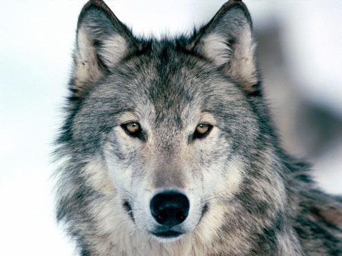 Bushmeat trade and reintroduction of wolves to scotland... (2/2)